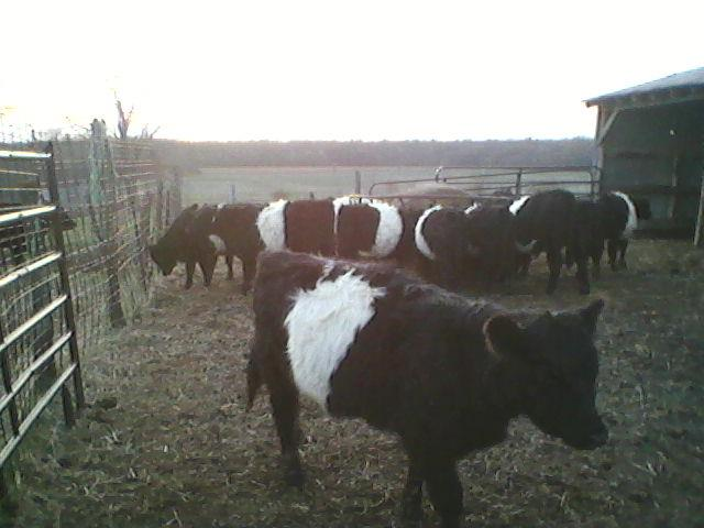 Cattle for Stockyard sale - soon to be shipped.