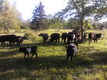 Natural Farming | Grass Fed Missouri Angus Cattle